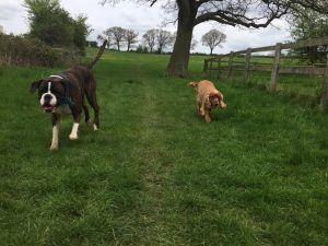 Dog walking in Redditch and Studley