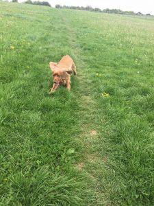 Redditch dog walking