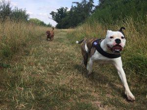 Bulldog Swimming Lessons Redditch Dog Walking