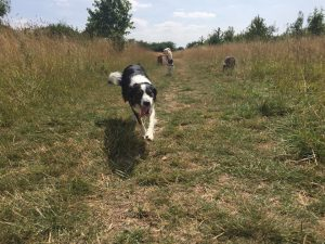 Collie Swimming Lessons Redditch Dog Walking